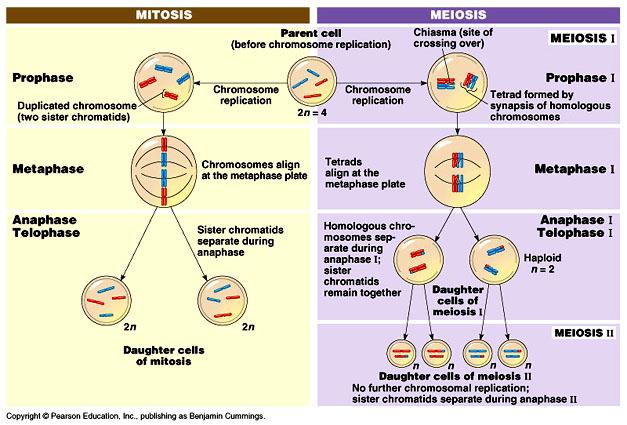 28 Diagram Of Mitosis And Meiosis Mitosis Meiosis
